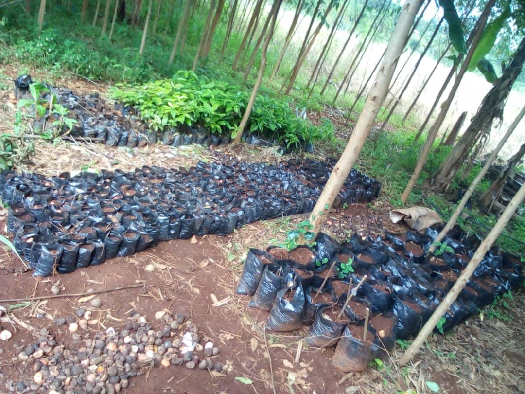 Fongo-Tongo : la pépinière est lancée